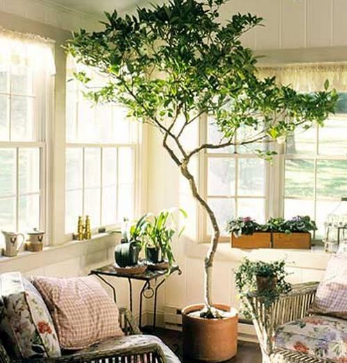 живое дерево комнатное