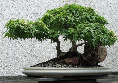 Комнатное дерево бонсай фото