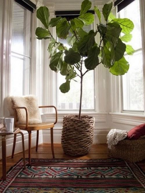 Какие комнатные деревья купить