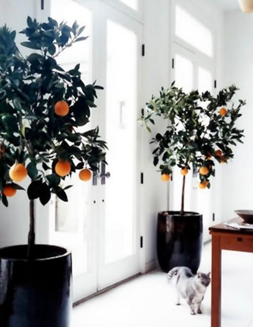Комнатные деревья цитрусовые фото