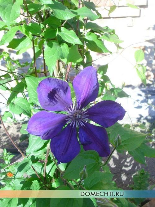 Вьющиеся цветы на клумбе