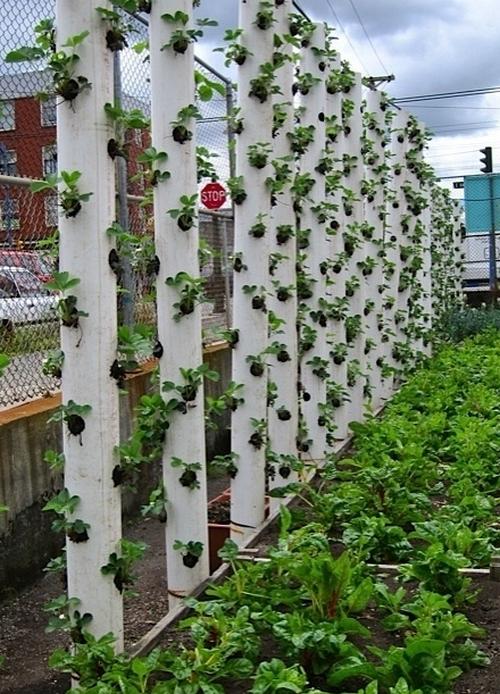 Вертикальное выращивание клубники фото
