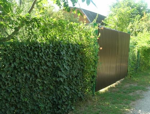 Как закрыть сетку рабицу живой изгородью