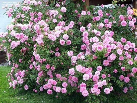 Канадские розы в саду фото