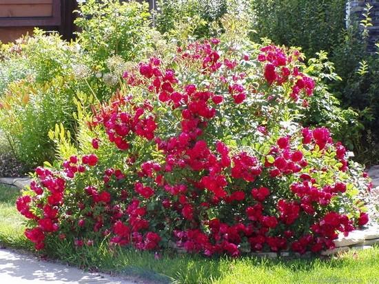 Канадские розы сорта фото