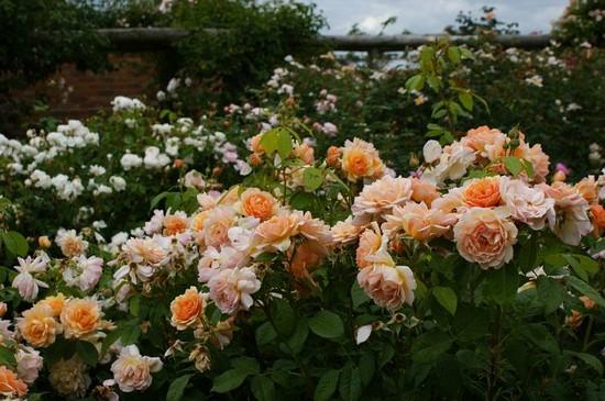Английские розы в саду фото