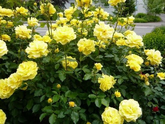 Парковые розы в дизайне сада фото