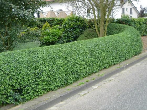 Вечнозеленые растения для живых изгородей