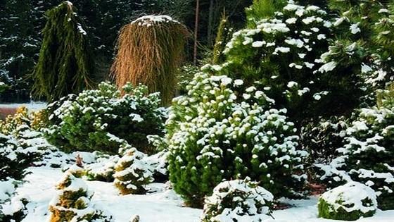 Вечнозеленые растения в саду зимой
