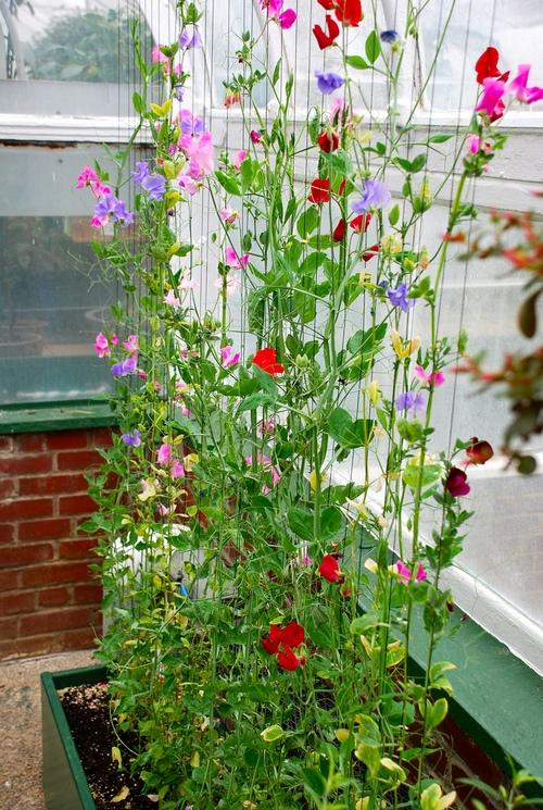Душистый горошек однолетний для сада и балкона