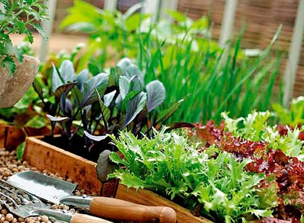 Выращивание салата на подоконнике