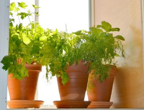 Выращивание петрушки в горшках на подоконнике