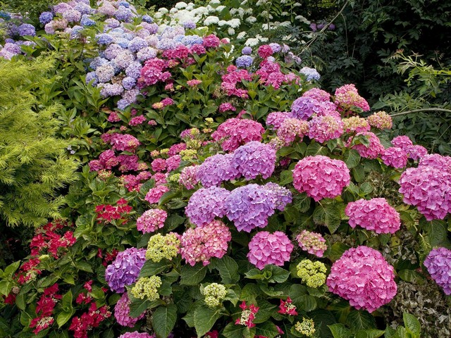 цветок гортензия фото
