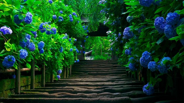 Гортензия в саду синяя