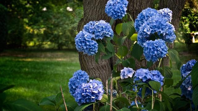 Синяя гортензия фото
