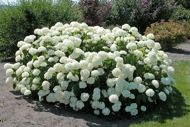 Гортензия белая садовая фото