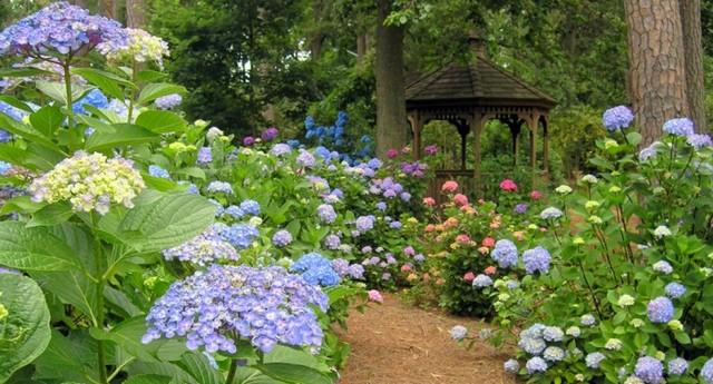 гортензия садовая фото