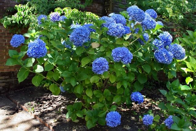 гортензия садовая посадка и уход