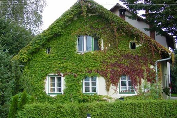 Дом в девичьем винограде фото