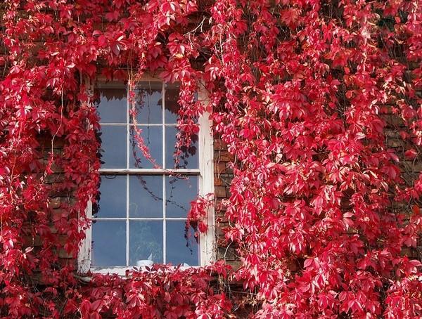 Девичий виноград на фасадах домов фото