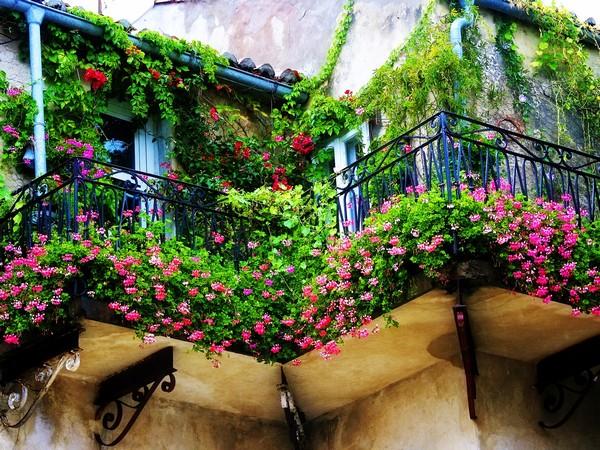 Девичий виноград на балконе фото