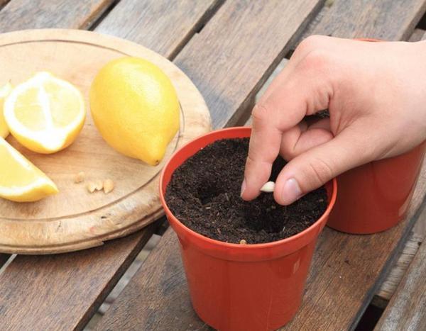 Выращивание лимона из косточки фото