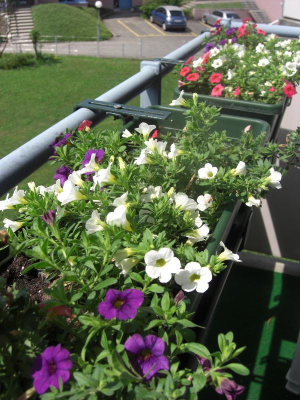 балконные цветы фото