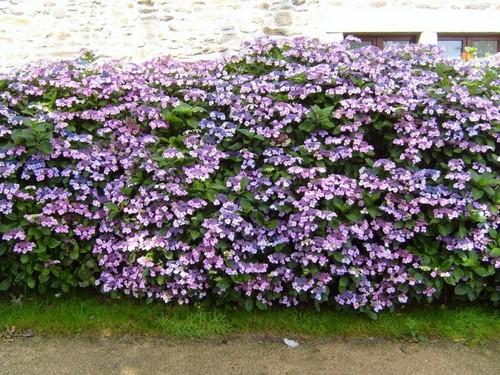 Растения для живой изгороди быстрорастущие