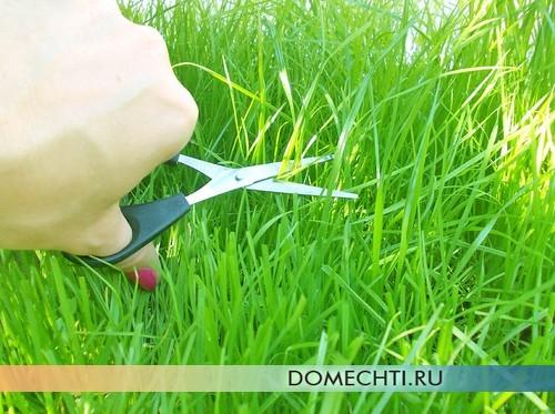 Стрижка газонной травы ножницами