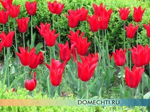 Тюльпаны на весенней клумбе