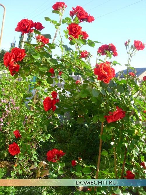 Вьющиеся розы на даче фото