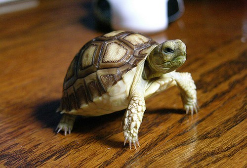 Черепаха в квартире