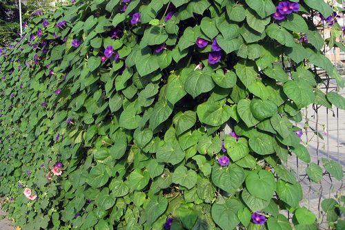 Вьющиеся растения для забора из сетки рабицы