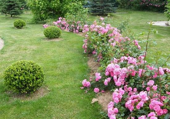 Почвопокровные розы фото в саду