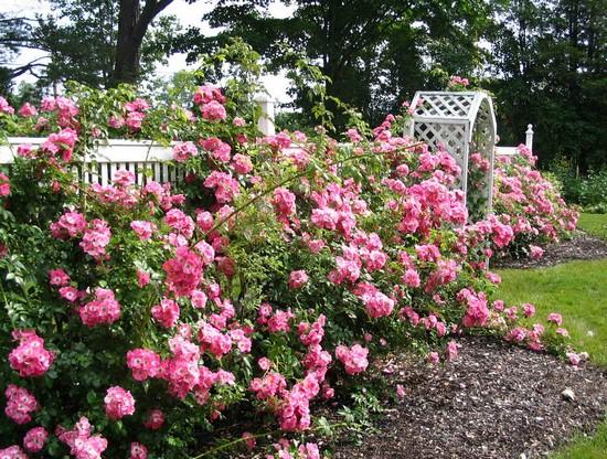 Парковые розы в ландшафтном дизайне участка фото