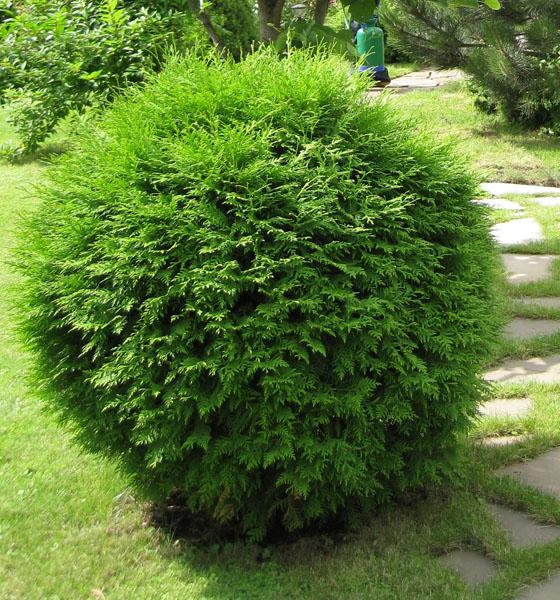 вечнозеленые хвойные растения