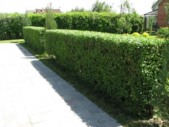 Живые изгороди из вечнозеленых растений