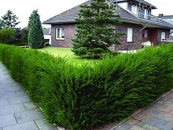 Зеленый забор из вечнозеленых растений