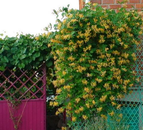 лианы садовые фото