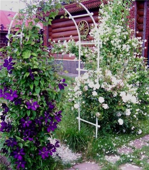 Плетистая роза и клематис многолетние для сада