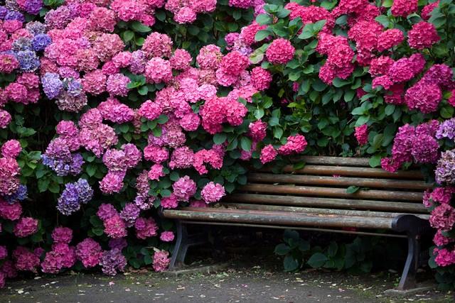 Цветущая гортензия в саду фото