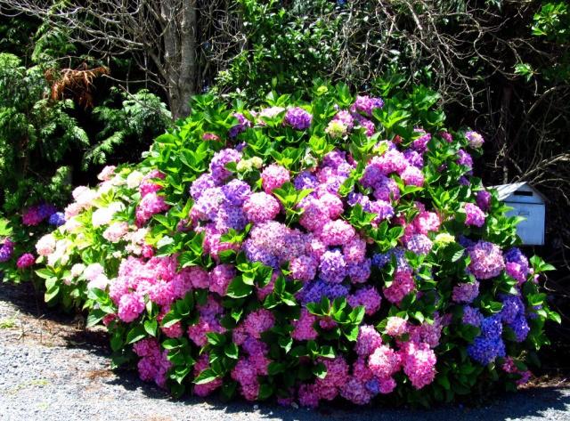 Куст цветущей гортензии фото