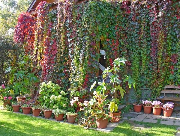 Девичий виноград в дизайне дачного участка фото