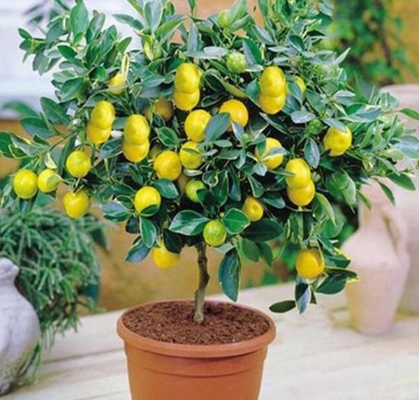 Лимонное дерево в домашних условиях фото