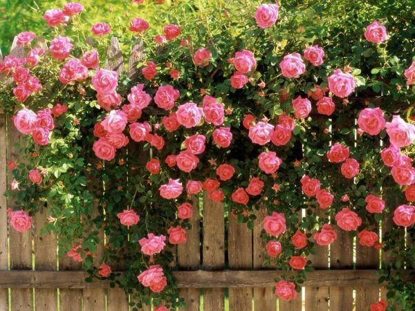 Деревянный забор для розария